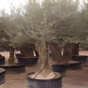 PLANTE POUSSÉE Olea europaea (Oliviers) (Pot de 3 litres - 80/…