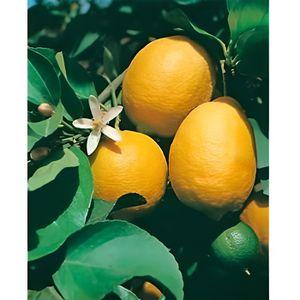 citronnier achat vente citronnier pas cher soldes d s le 10 janvier cdiscount. Black Bedroom Furniture Sets. Home Design Ideas