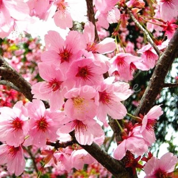 10pcs Graines De Fleurs Rare Japonais Cerisier Sakura Achat