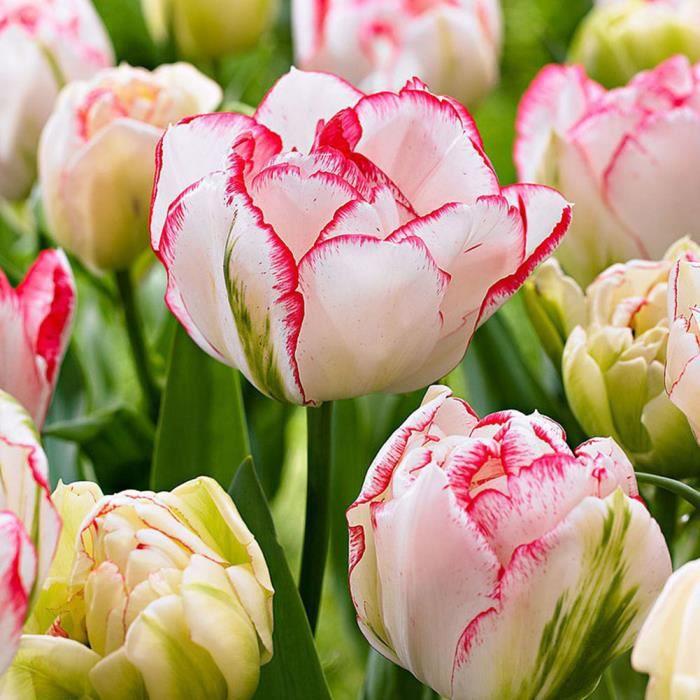3pcs Mode variété bulbes tulipes graines belle fleur Maison Jardin ...