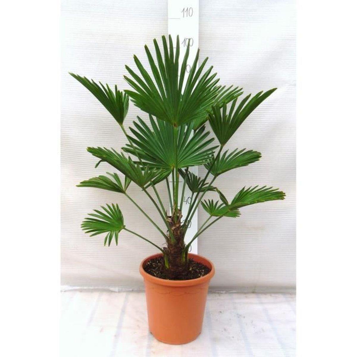 trachycarpus wagnerianus 70 90cm en 26cm pot tronc 15 cm achat vente arbre buisson. Black Bedroom Furniture Sets. Home Design Ideas