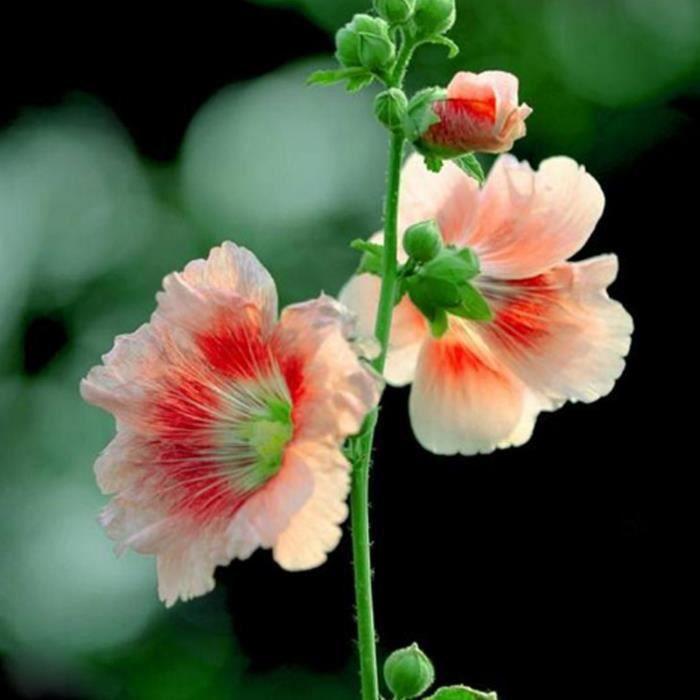 Graines Fleurs De Rose Tremiere En Pot Jardin 10 Pcs 5 Achat