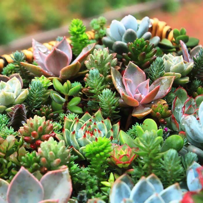 plante grasse rose cheap dcorez avec les plantes grasses. Black Bedroom Furniture Sets. Home Design Ideas