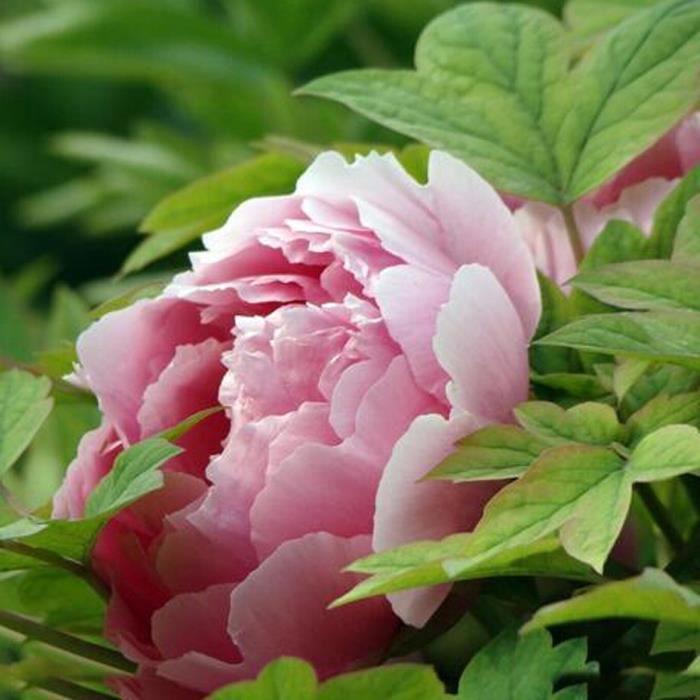 8pcs Graines de fleur plantes de pivoine chinois jardin maison ...