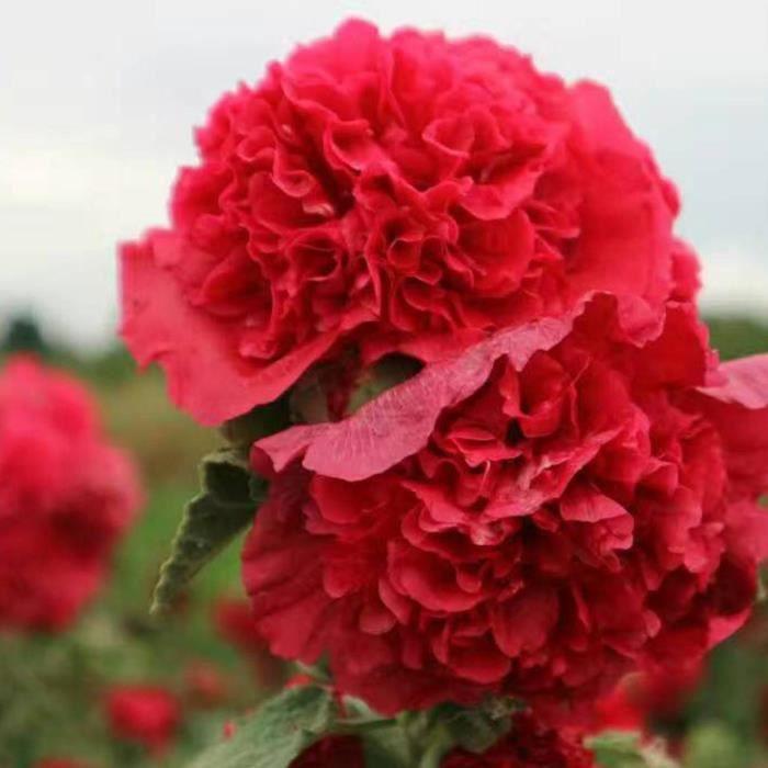 Graines Fleurs De Rose Tremiere En Pot Jardin 10 Pcs 6 Achat