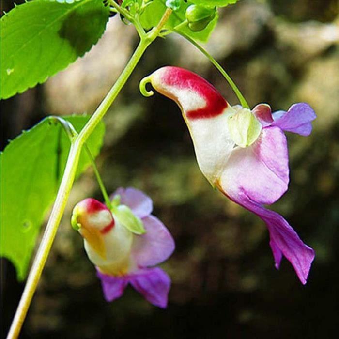 20pcs graines de rare Perroquet orchidée fleur de jardin plante ...