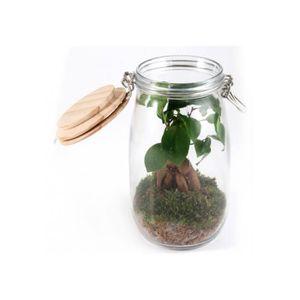 DÉCO VÉGÉTALE - RACINE Terrarium Mini Ficus avec mousse