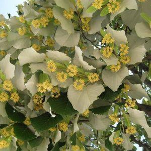 ARBRE - BUISSON Tilleul argenté (Tilia Tomentosa) Jeune plant en g