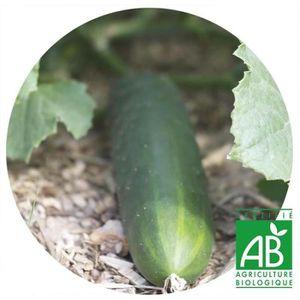 GRAINE - SEMENCE Concombre marketmore AB • Graine bio potagère • Ja