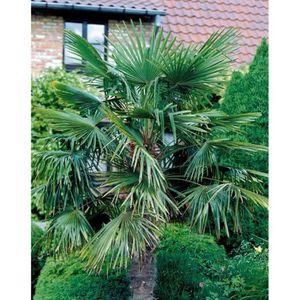 PLANTE POUSSÉE Palmier de jardin