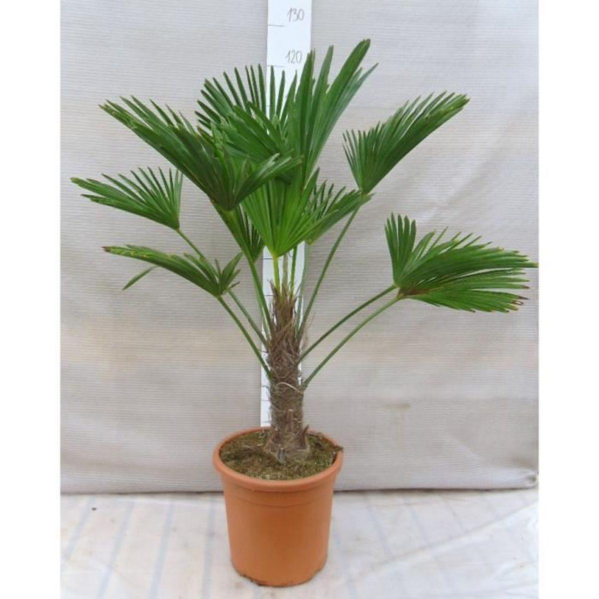 trachycarpus wagnerianus 110 120cm en 31cm pot tronc 30 cm achat vente arbre buisson. Black Bedroom Furniture Sets. Home Design Ideas