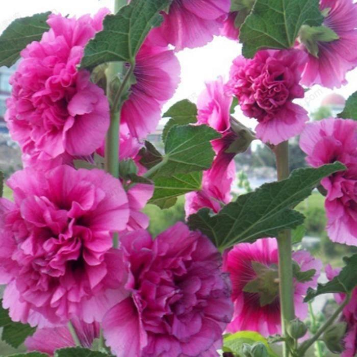 Graines Fleurs De Rose Tremiere En Pot Jardin 10 Pcs 8 Achat