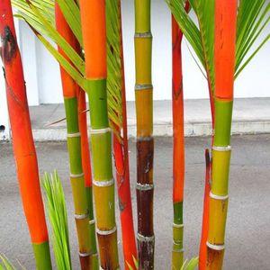 GRAINE - SEMENCE 100pcs Phyllostachys pubescentes graines de bambou