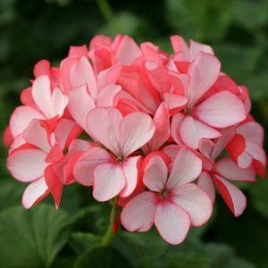 Geranium achat vente geranium prix fou cyber - Graine de geranium ...