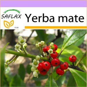 THÉ SAFLAX - Yerba mate - 10 graines  - Ilex paraguaen