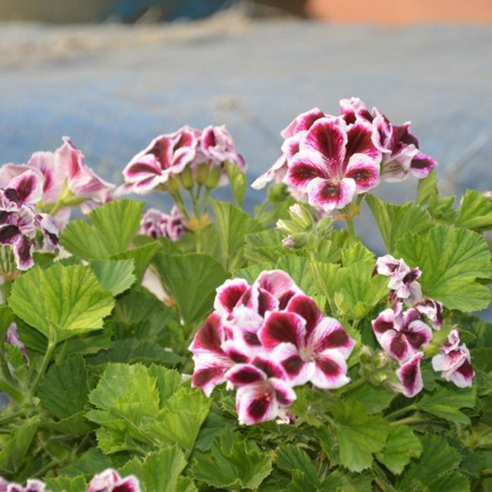 20pcs g ranium graines de fleurs plantation maison bonsa - Graine de geranium ...