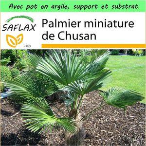 Saflax Jardin Dans La Boite Palmier Miniature De Chusan 4