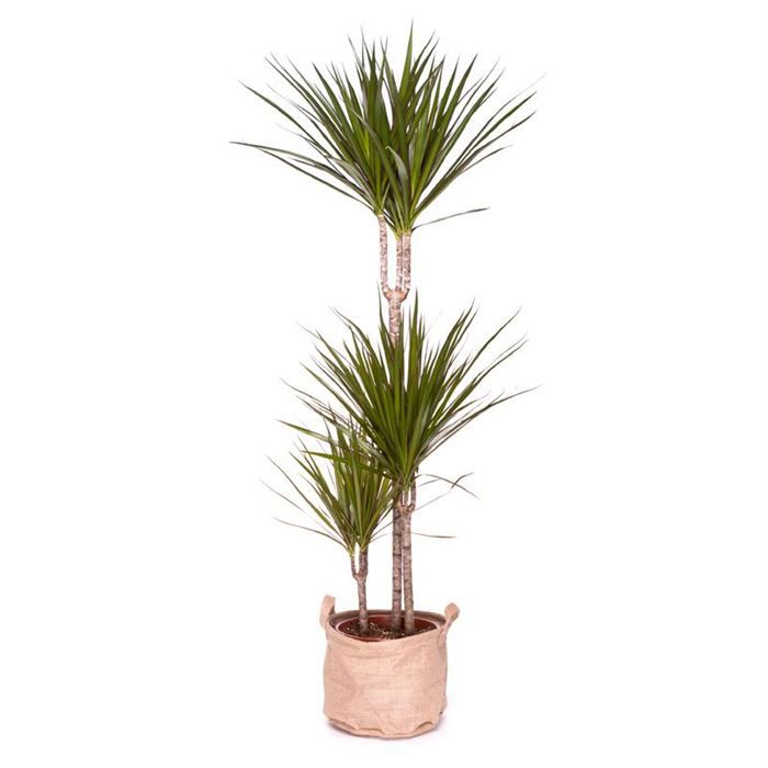 dracaena marginata 100cm achat vente plante pouss e dracaena marginata 100cm cdiscount. Black Bedroom Furniture Sets. Home Design Ideas