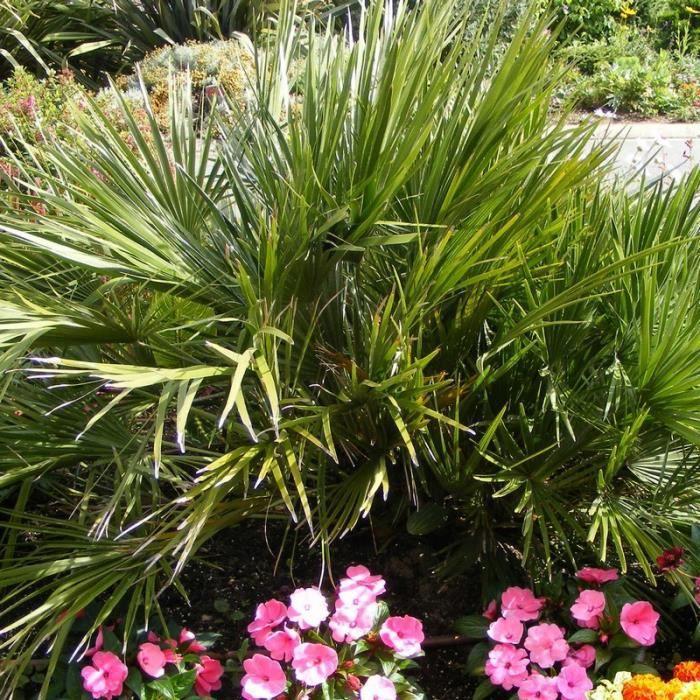 Type de palmier exterieur palmeraie palmiers vente de - Type de palmier ...