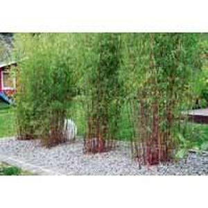 Bambou cannes rouges le bambou des pandas achat vente plante pouss e bambou cannes - Bambou rouge en pot ...