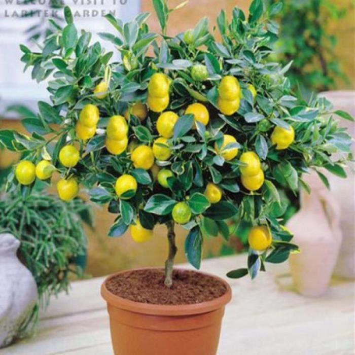 Vip2store 100 graines de citron jaune plant s en pot for Chauffage plante exterieur