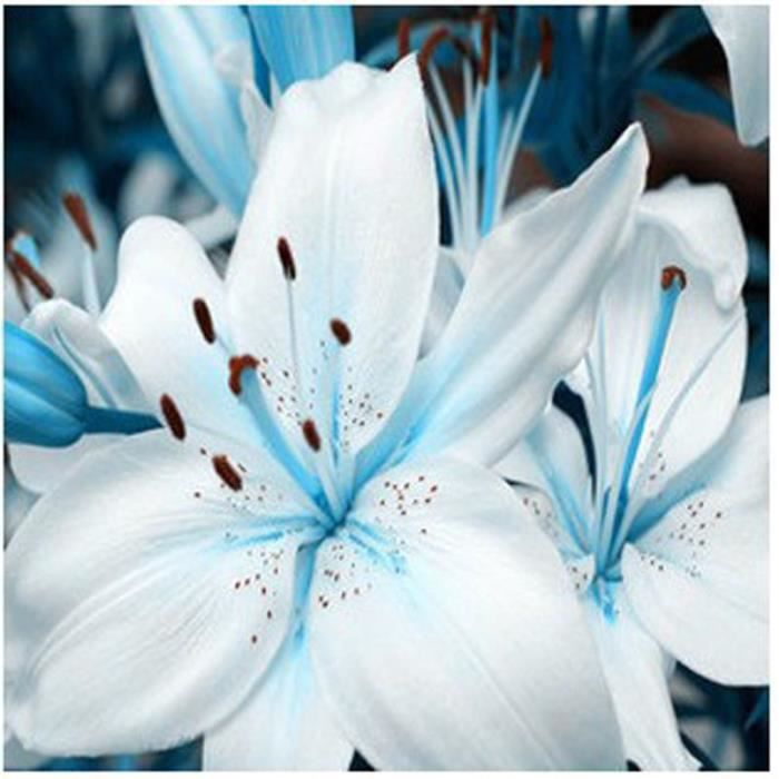 lot de 10 graines de lys blanche bleue fleurs achat vente graine semence lot de 10. Black Bedroom Furniture Sets. Home Design Ideas