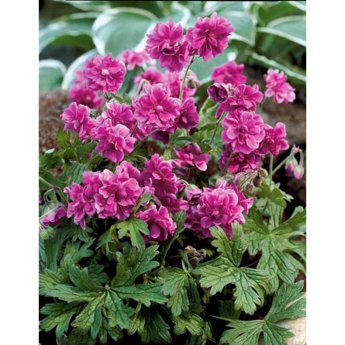2 g raniums vivaces doubles roses achat vente plante pouss e 2 g raniums vivaces doubles - Quand planter les geraniums ...