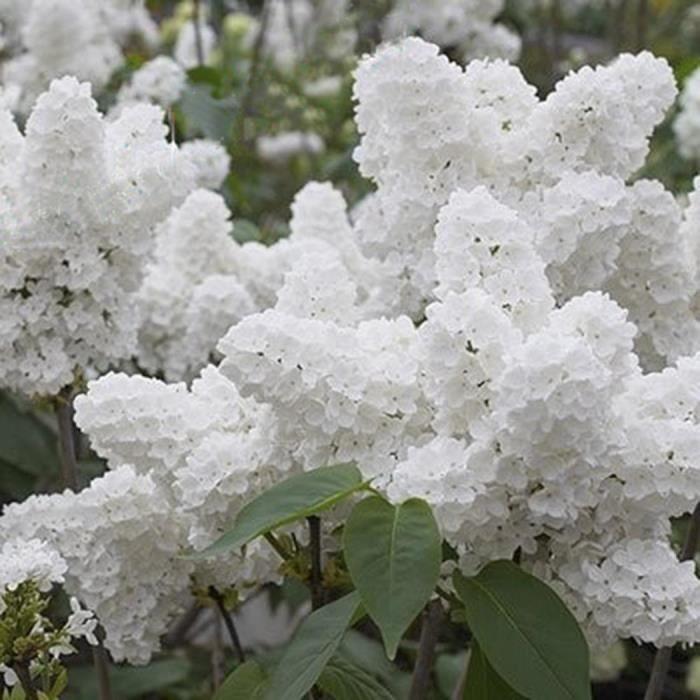 Blanc Japonais Lilas Arbre Graine Bonsai Fleur Jardin 50 Pcs Achat