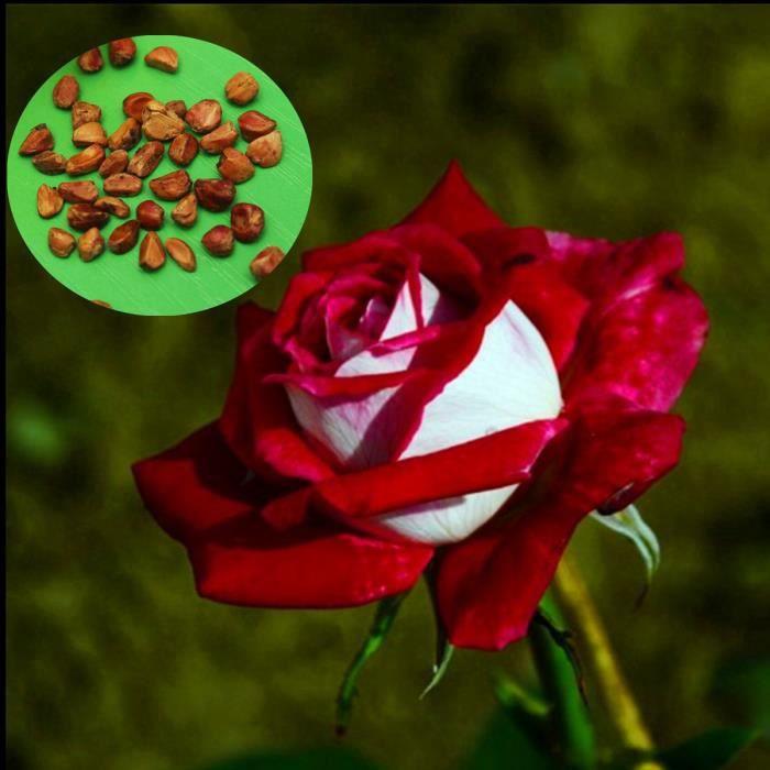 20pcs Graines De Fleurs Rares Rose Rouge Jardin Achat Vente