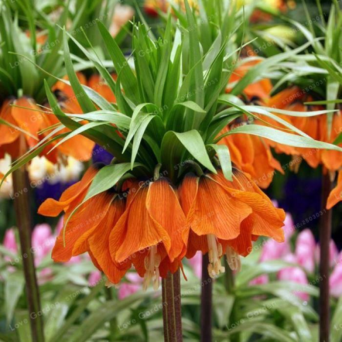 GRAINE - SEMENCE 30 Pcs Couronne Impériale Graines Wang Fritillaria