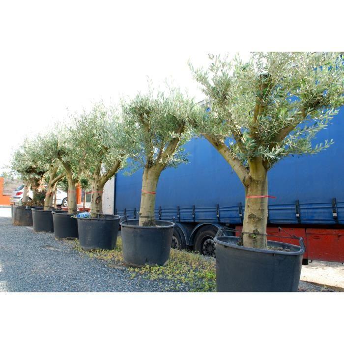 planter un olivier a lyon