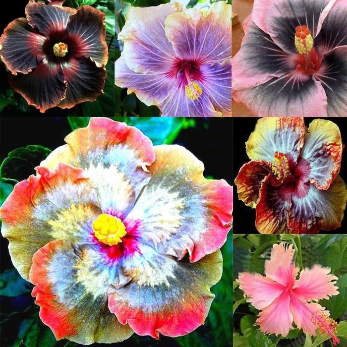 Plante de Jardin Graines de Hibiscus Pétales rose et noir 10PCS ...