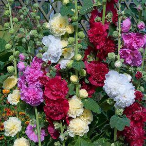 Graines Fleurs De Rose Tremiere En Pot Jardin 10 Pcs 1 Achat