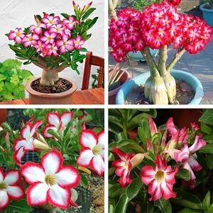 ENTRETIEN OUTIL JARDIN 5 pcs Rare Rose Adenium Obesum Désert Rose Graines