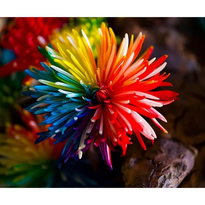 50pcs graines de fleur plantes multicolore chrysanthemum jardin achat vente graine semence. Black Bedroom Furniture Sets. Home Design Ideas