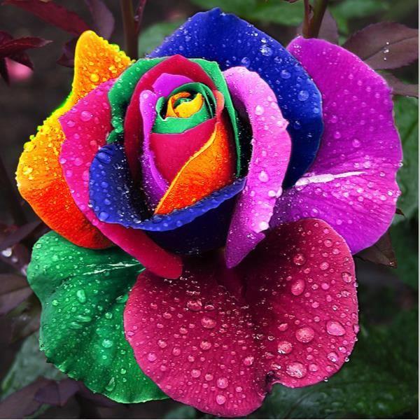 150 graines de rose semer multi couleur fleur flower seeds plante jardin rainbow achat vente. Black Bedroom Furniture Sets. Home Design Ideas