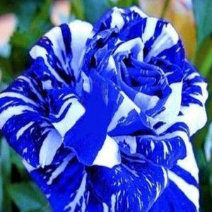 GRAINE - SEMENCE Vip2store® 10 Graines de Rose Blue Dragon Pour Jar
