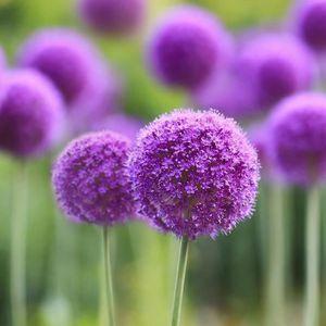 GRAINE - SEMENCE Graines de fleurs allium giganteum 100pcs