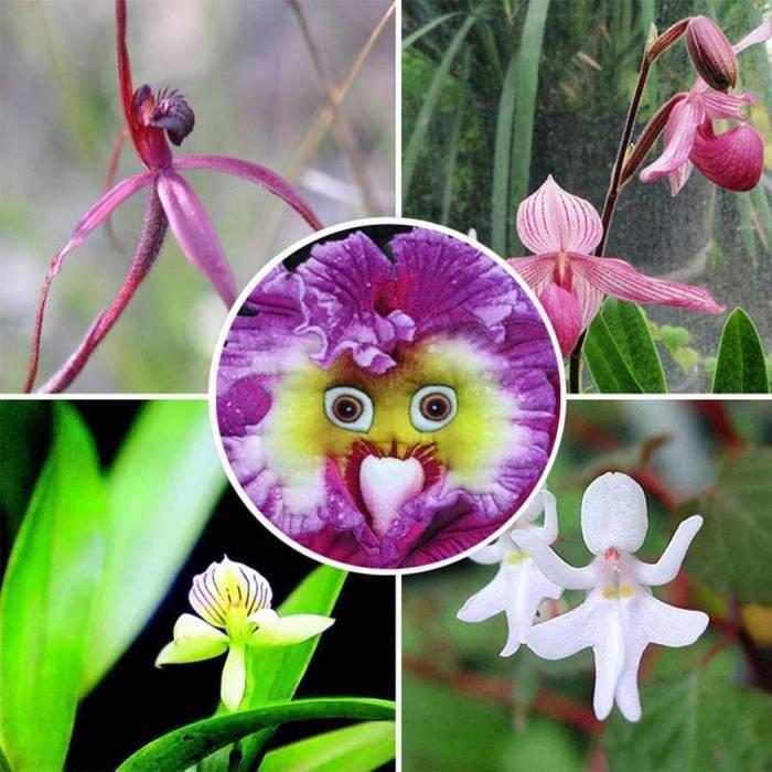 Orchidée Graines Rarest Bébé Visage Vivace Fleur Maison Jardin Décor ...