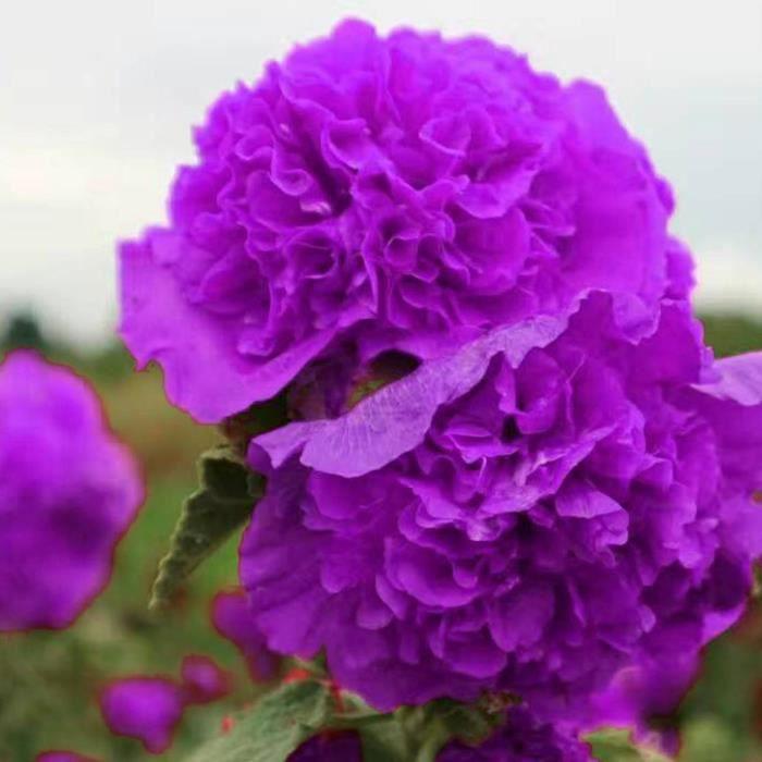 Graines Fleurs De Rose Tremiere En Pot Jardin 10 Pcs 2 Achat