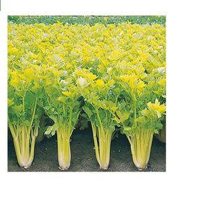 GRAINE - SEMENCE Lot de 25 Graines Potageres - celeri plein blanc d