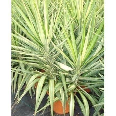 Yucca Jewel Haut 65 75 Cm Pot 10 L Achat Vente Plante Poussee