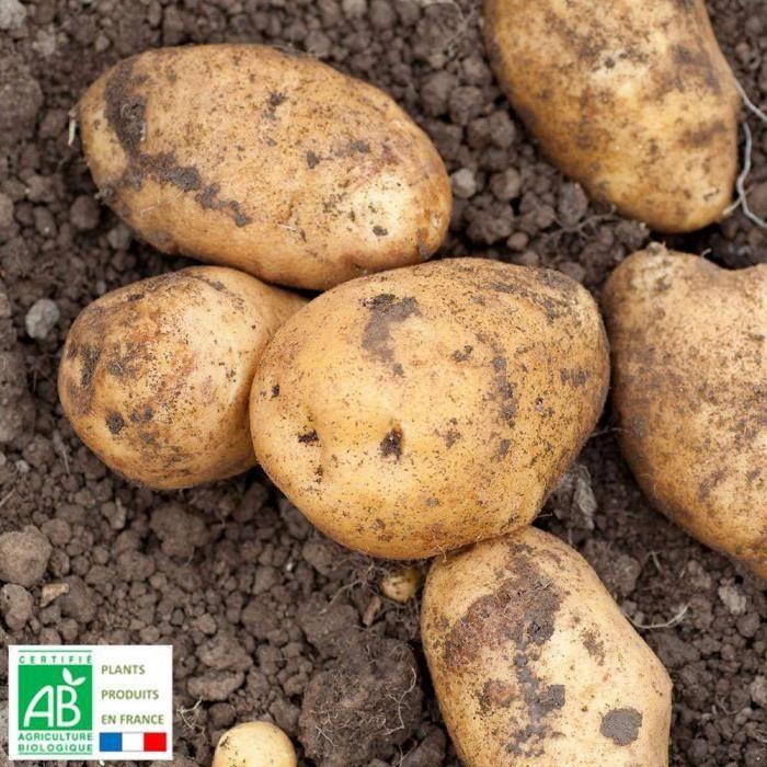 Plant de pomme de terre achat vente plant de pomme de terre pas cher soldes d s le 10 - Planter pomme de terre en pot ...