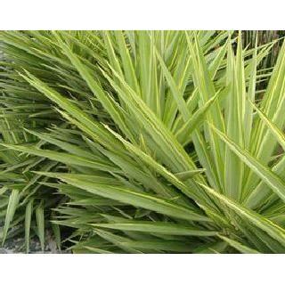 Yucca Jewel Haut 7595 Cm Pot 17 L Achat Vente Plante Poussee