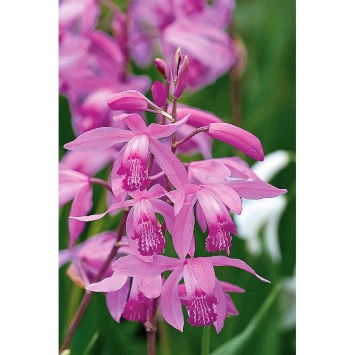 2 Orchidées de jardin - Achat / Vente bulbe 2 Orchidées de jardin ...