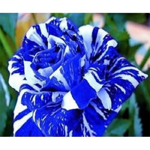 graines de fleurs rose rosier dragon rayures 2 couleurs bleu et banc 20 graines achat vente. Black Bedroom Furniture Sets. Home Design Ideas