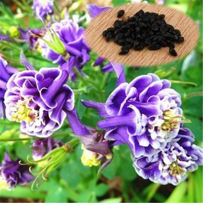 graine fleurs vivace - achat / vente graine fleurs vivace pas cher