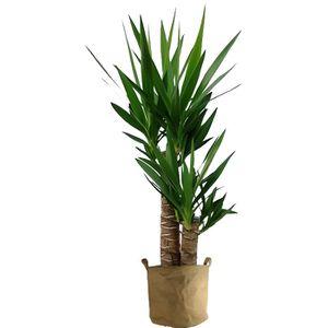 PLANTE POUSSÉE Yucca 70cm