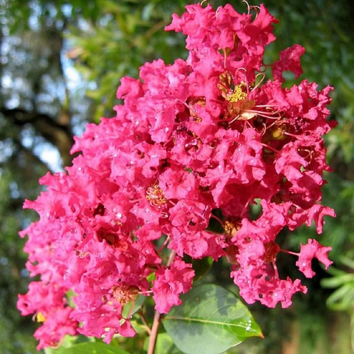 Lagerstroemia Indica Red Imperator Lilas Des Indes Rouge Vif