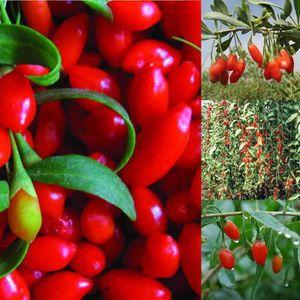 GRAINE - SEMENCE 60 Graines de goji rouge baie de goji Medical Herb